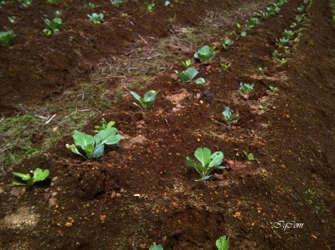Bertani sayuran Kol